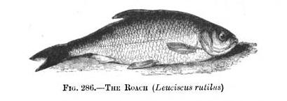 roach fish freshwater ponds