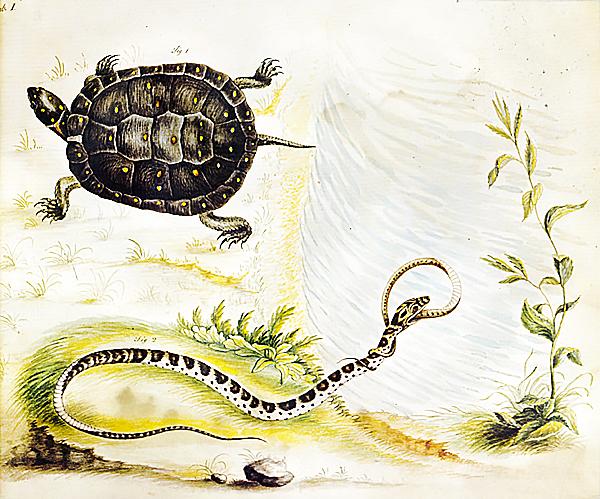 Bartram Turtle Illustration