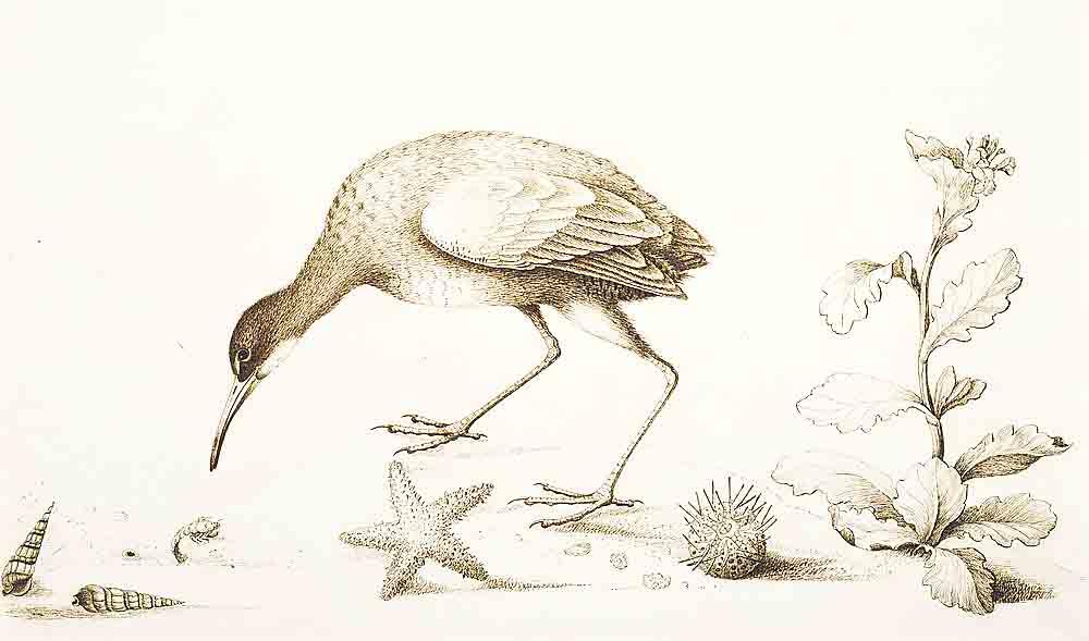 Bartram's Travels Bird Illustration