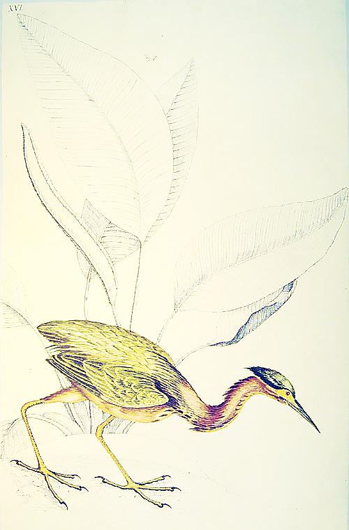 Bartram Bird Illustration