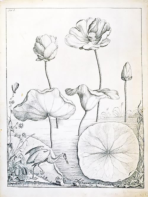 Bartram Lotus Illustration